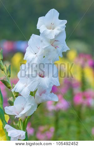 Bunch Of Colorful Gladiolus Flowers In Garden