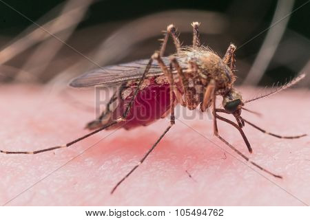 Mosquito Biting Skin Is Filled With Red Blood