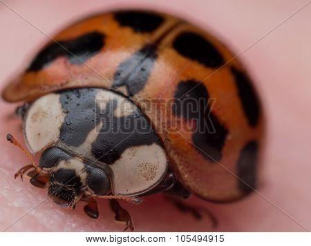 Portrait Of Asian Lady Beetle On Skin
