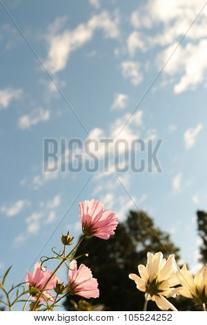 Aichi Prefecture,Japan - Oct 17, 2015: Cosmos and blue sky poster