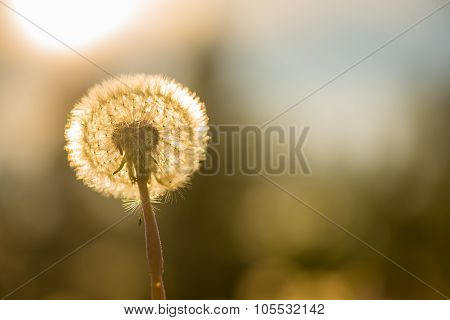 Golden dandelion