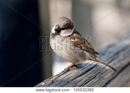 House Sparrow on Fence Rail