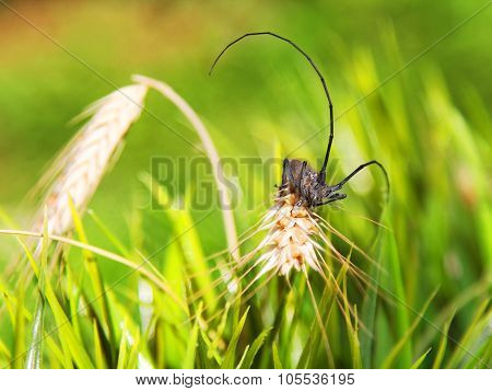 An insect on rye in the grass. Natural composition