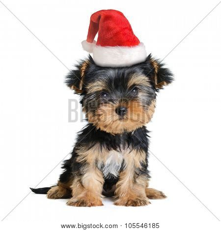 yorkshire terrier dog in the santa hat isolated on white, Merry Christmas and Happy New Year