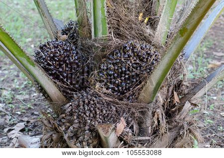 Palm Fruit Growing On Tree, Tropical Plant For Biodiesel Production