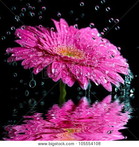 Pink gerbera flower into the rain reflected in the water