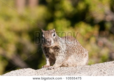 Closeup Of Ground Squirrel