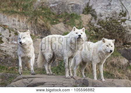 Arctic Wolves at play