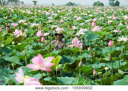 farmer harvest lotus in Angiang, Vietnam.