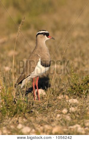 Portrait Of A Plover