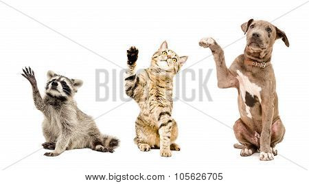 Funny raccoon, cat and puppy