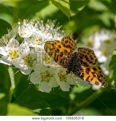 Butterfly on flowers Brenthis Physocarpus
