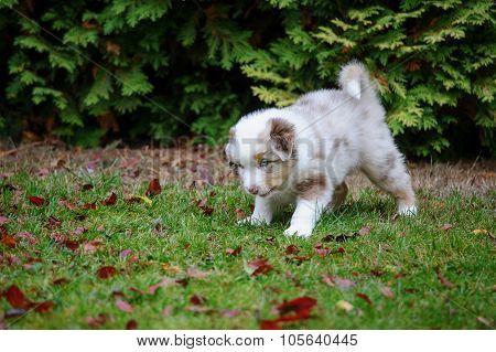 Cute Australian Shepherd Puppy Exploring World Oustide Home