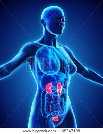 Human Kidneys Anatomy