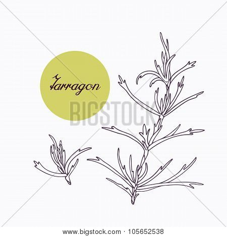 Hand drawn tarragon branch with leves isolated on white