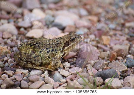 Common Frog (rana Temporaria) On Gravel Groundcommon Frog (rana Temporaria) On Gravel Ground