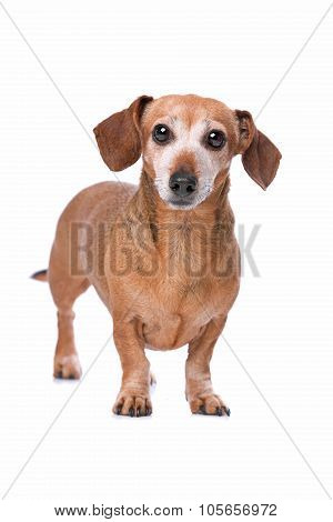 Dachshund Looking At Camera