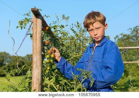 Farm boys picking the tomatoes in vegetable garden