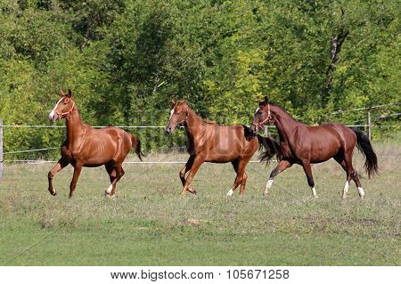 Three Of Beautiful Young Stallions Galloping On Pasture Summertime