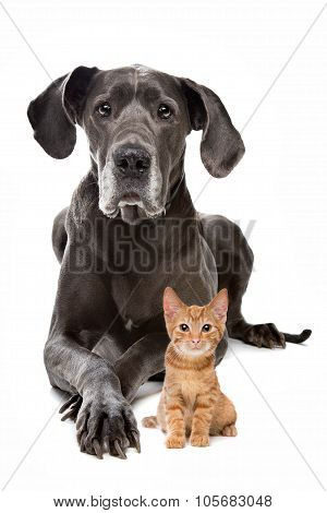 Great Dane and a Red kitten