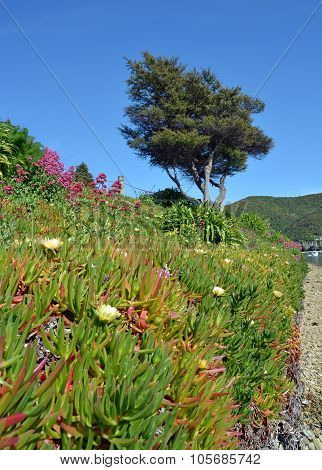Iceplant In Flower At Waikawa Bay, Picton New Zealand