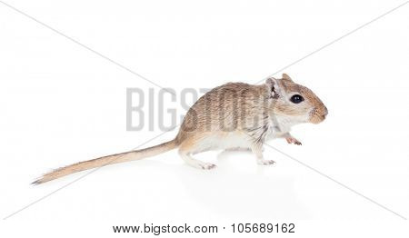 Profile of a funny gerbil isolated on a white background