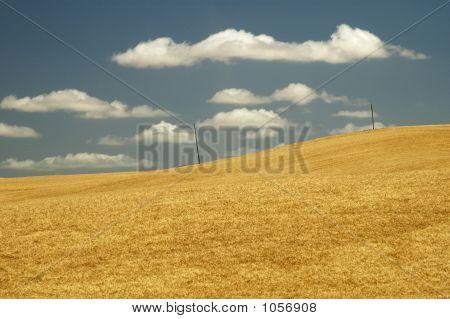Wheat Field 13