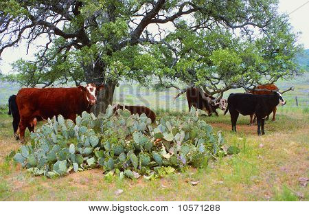 Cows And Cactus
