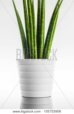 Decorative house plant - Sansevieria cylindrica