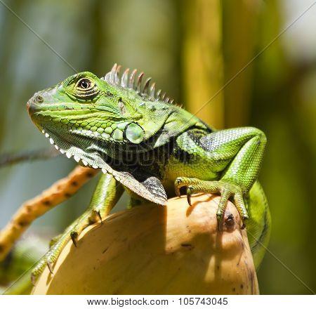 Lizard (iguana iguana)