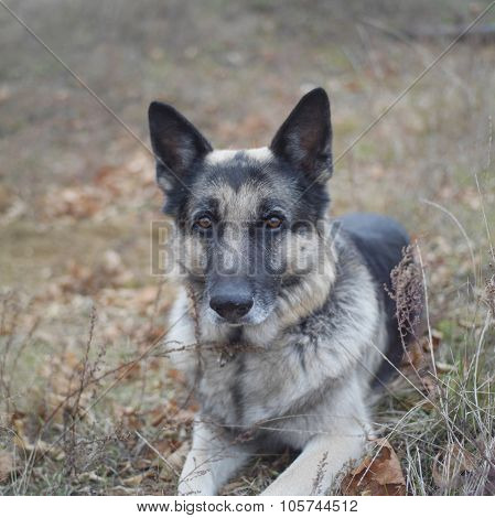 A shepherd dog lying down in a park in position of alert outdoor square shot poster