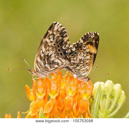 Gorgone Checkerspot butterfly couple mating on top of a Butterflyweed flower