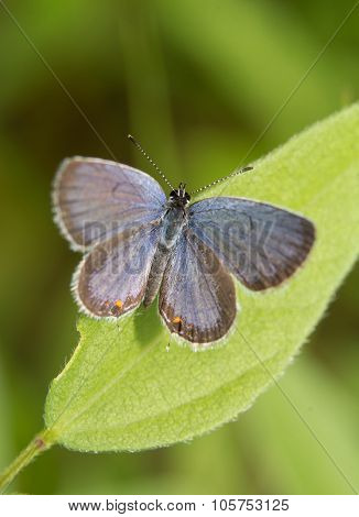 Dorsal view of an Eastern-tailed Blue butterfly resting on a leaf