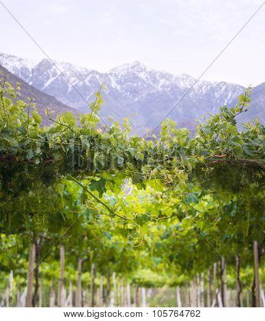 Spring Vineyard. Elqui Valley, Andes