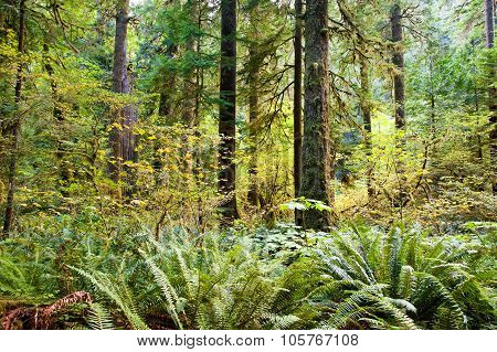 Trees near Lake Crescent in the Olympic Peninsula, WA state poster