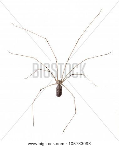 Long Bodied Cellar Spider Isolated