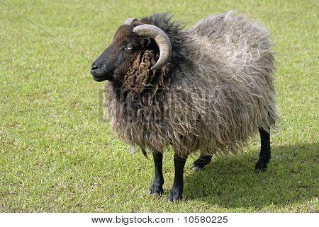 A woolly long horned ram