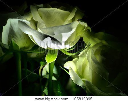 White Rose and stem lit from below