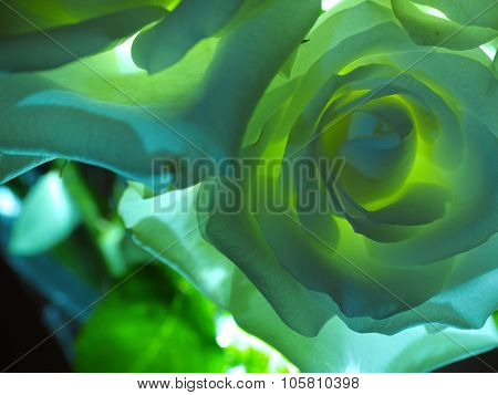 White Rose Backlit in Green and Blue
