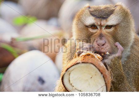 Monkey eats coconut at the coconut plantation at Koh Samui Thailand.