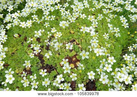 Saxifrage Arends -white. Background Of Little White Flowers On Moss