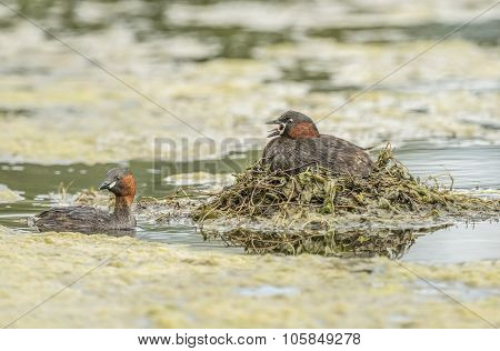 Little grebe sitting on its nest on a pond squawking with another near by
