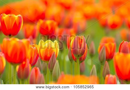 Yellow Orange Tulip Field