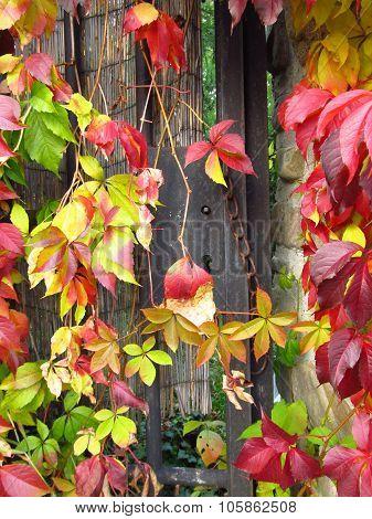 colorful woodbine