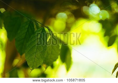 Beech Leaves With Sunlight