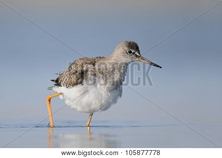Common Redshank At Shallow Water