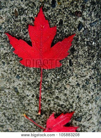 Red Sugar Maple Leaf On A Concrete Slab
