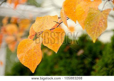 golden linden  foilage
