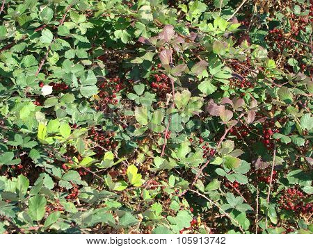 thorny blackberry bush with berries