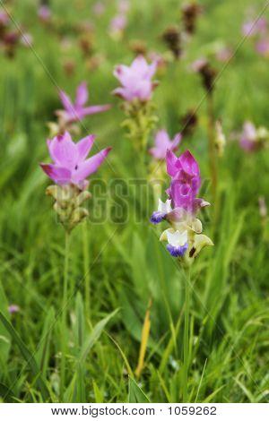 Wild Flower Siam Lily